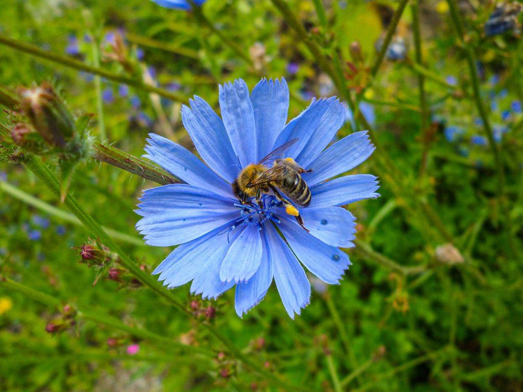 Biene auf einer blauen Blume